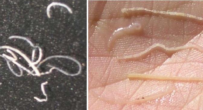 Bệnh phấn trắng trên tôm
