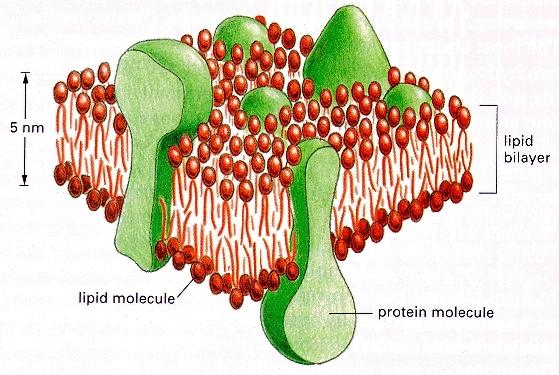 Nhu cầu Lipid của tôm thẻ chân trắng